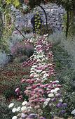 Garden with chrysanthemums — Stock Photo