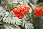 Red rowan berry — Stock Photo