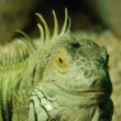 Royalty-Free Stock Photo: Green iguana