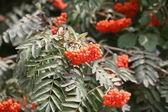 Red rowan berry — Stock Photo