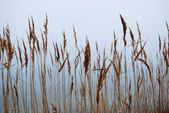 Stipa, cheegrass in the fog — Stock Photo