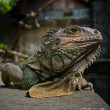 Iguana portrait - Stock Photo