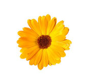 Yellow calendula — Stock Photo
