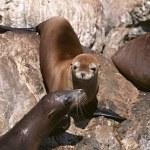 Seal pup enjoys — Stock Photo #1866454
