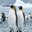Second largest species of penguin — Stock Photo