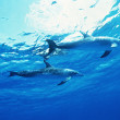 Dolphin underwater — Stock Photo
