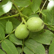 Stock Photo: Green nut grows on branch