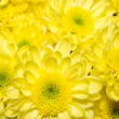 Bouquet of yellow chrysanthemums — Stock Photo #2512593