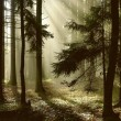 Coniferous forest at dawn - Stock Photo