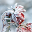 Red roses covered with frost — Stock Photo