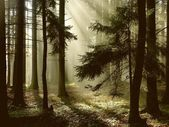 Coniferous forest at dawn — Stock Photo