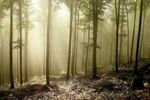 Beech forest — Stock Photo