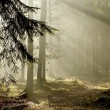 Stock Photo: Late autumn coniferous forest at dawn