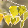 Stock Photo: Birch leaves backlit by the rising sun
