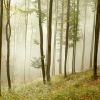 Stock Photo: Beech forest on the mountain slope