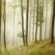 Beech forest on the mountain slope — Stock Photo