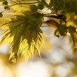 Spring maple leaves — Stock Photo