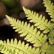Fern in the forest — Stock Photo