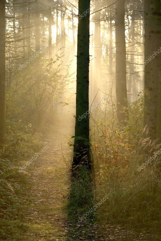 Light of the rising sun hidden behind the trunk of coniferous tree.  Stock Photo #2049260