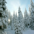 Winter coniferous trees - Stock Photo