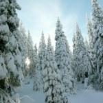 Winter coniferous trees — Stock Photo