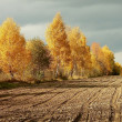 Stock Photo: Autumn birches before storm