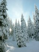 Winter coniferous trees — Stock Photo