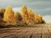 Autumn birches before storm — Stock Photo
