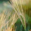 ear of wheat — Stock Photo