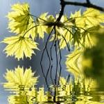 Yellow maple leaves — Stock Photo