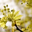 Yellow maple leaves on a twig - Stock Photo