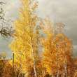 Stock Photo: Majestic birches