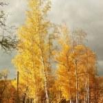 Majestic birches — Stock Photo