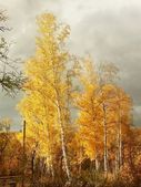 Majestic birches — Stock Photo