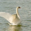Swan spreads its wings — Stock Photo #2081042