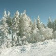 Stock Photo: Pine trees covered with snow