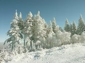 Pine trees covered with snow — Stock Photo