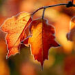 Autumn leaves with morning frost — Stock fotografie