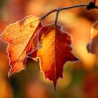Autumn leaves with morning frost — Stockfoto