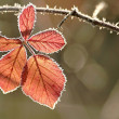 Autumn leaf covered with frost — Stock Photo