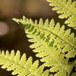 Spring fern — Stock Photo