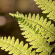Royalty-Free Stock Photo: Spring fern