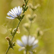 Blue wildflower — Stockfoto