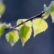 Spring leaves of birch — Stock Photo