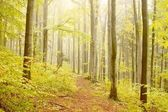 Misty beech forest — Stock Photo
