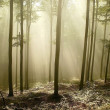 Misty beech woods in a nature reserve — Stock Photo