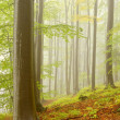 Misty beech forest — Stock Photo #2283360