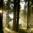 Misty woods at dawn - Stock Photo