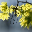 Spring maple leaves - Stock Photo