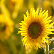 Sunflower at sunset - Stock Photo
